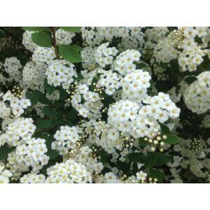 Spiraea x vanhouttei - Közönséges gyöngyvessző