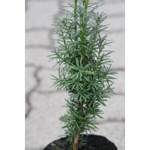 Taxus baccata 'Dárda' - Közönséges tiszafa 'Dárda'