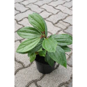 Viburnum davidii - Törpe bangita