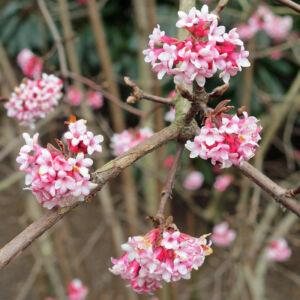 Viburnum bodnantense 'Dawn' – Kikeleti bangita