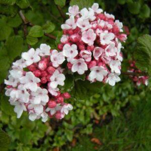Viburnum carlesii 'Aurora' – Illatos bangita