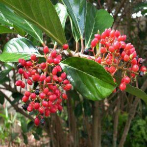 Viburnum odoratissimum var. 'Awabuki' – Korallbangita