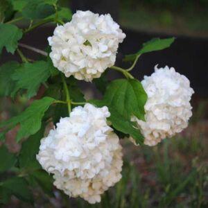 Viburnum opulus 'Roseum' - Labdarózsa
