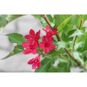 Weigela 'Bristol Ruby' - Piros virágú rózsalonc