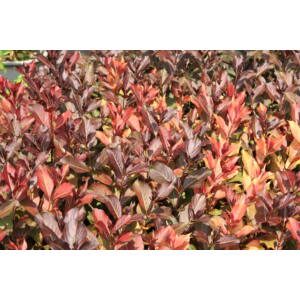 Weigela florida 'Piroska' - Piroska rózsalonc