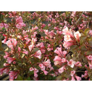Weigela florida 'Purpurea Nana' - Törpe vöröslevelű rózsalonc