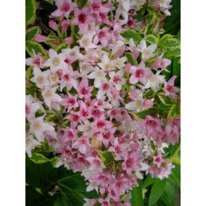 Weigela florida 'Variegata' -Tarka levelű rózsalonc