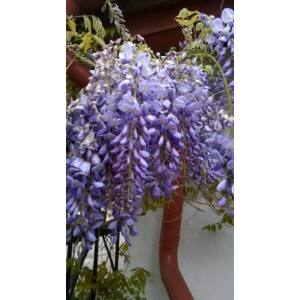 Wisteria sinensis - Kerti lilaakác