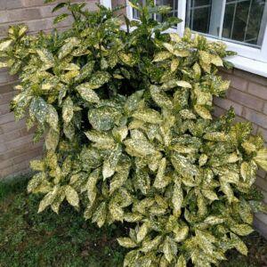 Aucuba japonica 'Golden King' – Babérsom