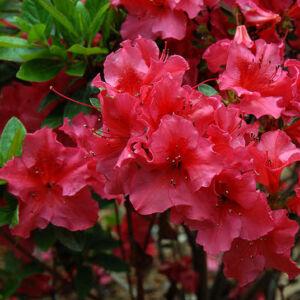 Azalea japonica 'Anne Frank' – Azálea