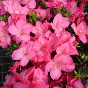 Azalea japonica 'Anouk' – Azálea