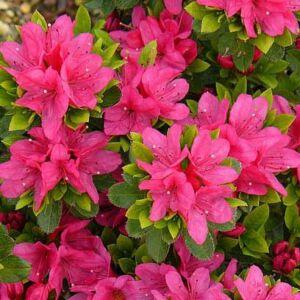 Azalea japonica 'Geisha Pink' – Azálea