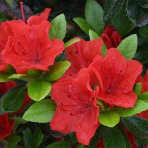 Azalea japonica 'Geisha Orange' – Azálea