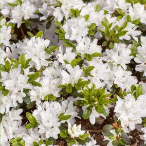 Azalea japonica 'Hisako' – Azálea