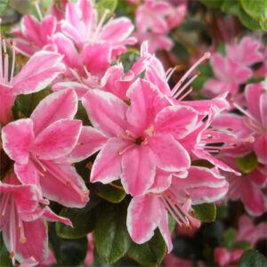 Azalea japonica 'Kermesina' – Azálea