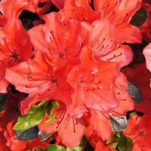 Azalea japonica 'Satschiko' – Azálea
