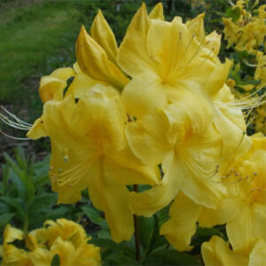 Rhododendron 'Anekke' – Knap Hill azálea (sárga)