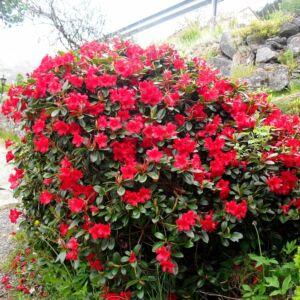 Rhododendron 'Baden Baden' – Törpe örökzöld havasszépe (tűzpiros)