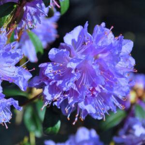 Rhododendron 'Blue Tit Major' – Törpe örökzöld havasszépe (liláskék)