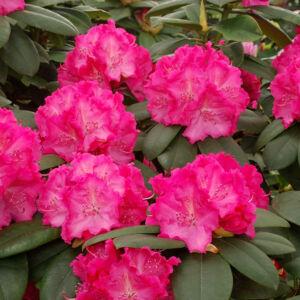 Rhododendron 'Germania' – Örökzöld havasszépe (rózsaszín-fehér)