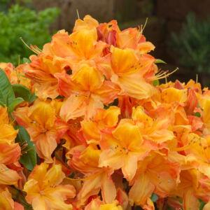 Rhododendron 'Glowing Ambers' – Knap Hill azálea (narancssárga)