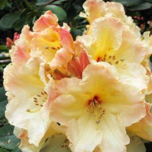 Rhododendron 'Horizon Monarch' – Örökzöld havasszépe (sárga)