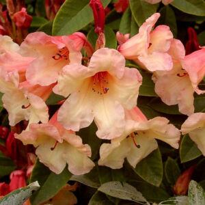 Rhododendron 'Jingle Bells' – Örökzöld havasszépe (barack -rózsaszín)