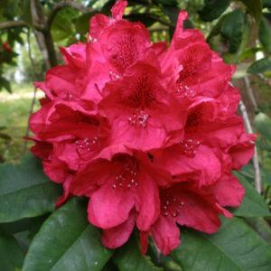 Rhododendron 'Lord Roberts' – Örökzöld havasszépe (sötétpiros)