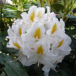 Rhododendron 'Madame Masson' – Örökzöld havasszépe (fehér)