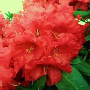 Rhododendron 'Markeeta's Price' – Örökzöld havasszépe (piros)