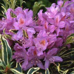 Rhododendron 'Ponticum Variegata' – Örökzöld havasszépe (lila)