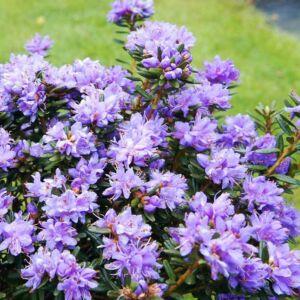 Rhododendron 'Purple Pillow' – Örökzöld havasszépe