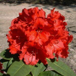 Rhododendron 'Red Jack' – Örökzöld havasszépe (rubinvörös)