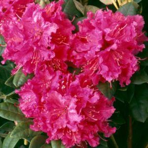 Rhododendron 'Rocket' – Örökzöld havasszépe (fodros, rózsaszín)