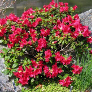 Rhododendron 'Scarlet Wonder' – Törpe örökzöld havasszépe (piros)