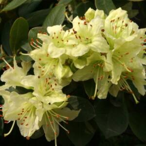 Rhododendron 'Shamrock' – Törpe örökzöld havasszépe (krémsárga)