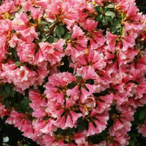 Rhododendron 'Wee Bee' – Törpe örökzöld havasszépe (rózsaszín)