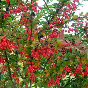 Berberis 'Indian Summer' – Brobolya