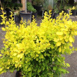 Berberis thunbergii 'Aurea Nana' – Sárga levelű törpe japán borbolya