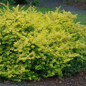 Berberis thunbergii 'Aurea' – Sárga levelű japán borbolya