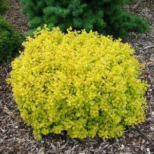 Berberis thunbergii 'Bonanza Gold' – Arany színű japán borbolya