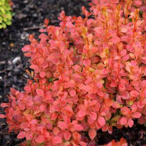 Berberis thunbergii 'Coral'® – Bordó levelű, sárga levélszélű japán vérborbolya