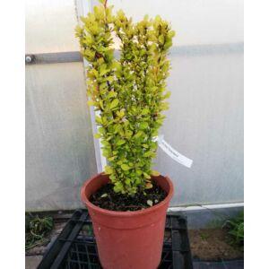 Berberis thunbergii 'Erecta Aurea' – Arany, oszlopos japán borbolya