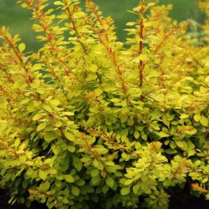 Berberis thunbergii 'Golden Carpet' – Borbolya