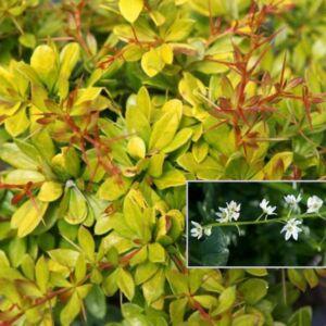Berberis thunbergii 'Golden Dream'® – Sárga levelű törpe borbolya