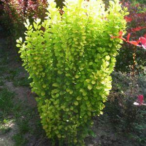 Berberis thunbergii 'Golden Rocket'® – Oszlopos, sárgászöld levelű borbolya