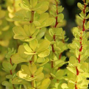Berberis thunbergii 'Golden Torch' – Oszlopos, sárgászöld levelű japán borbolya