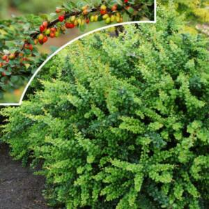 Berberis thunbergii 'Green Carpet' – Zöld levelű terülő borbolya