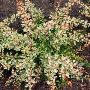 Berberis thunbergii 'Joanna'  – Japán borbolya