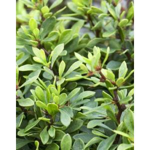 Berberis thunbergii 'Kobold' – Zöld levelű törpe gömb borbolya